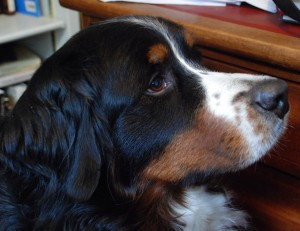 My Lovely Old Berner, Dori.