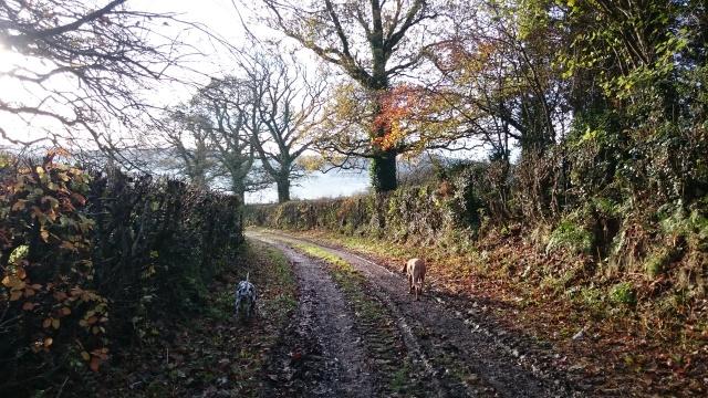 Walking a Devon lane